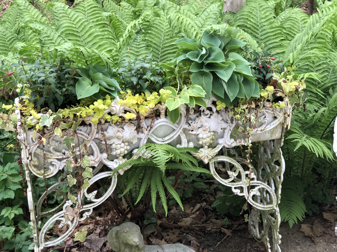 Hostas in a white metal container with ferns behind