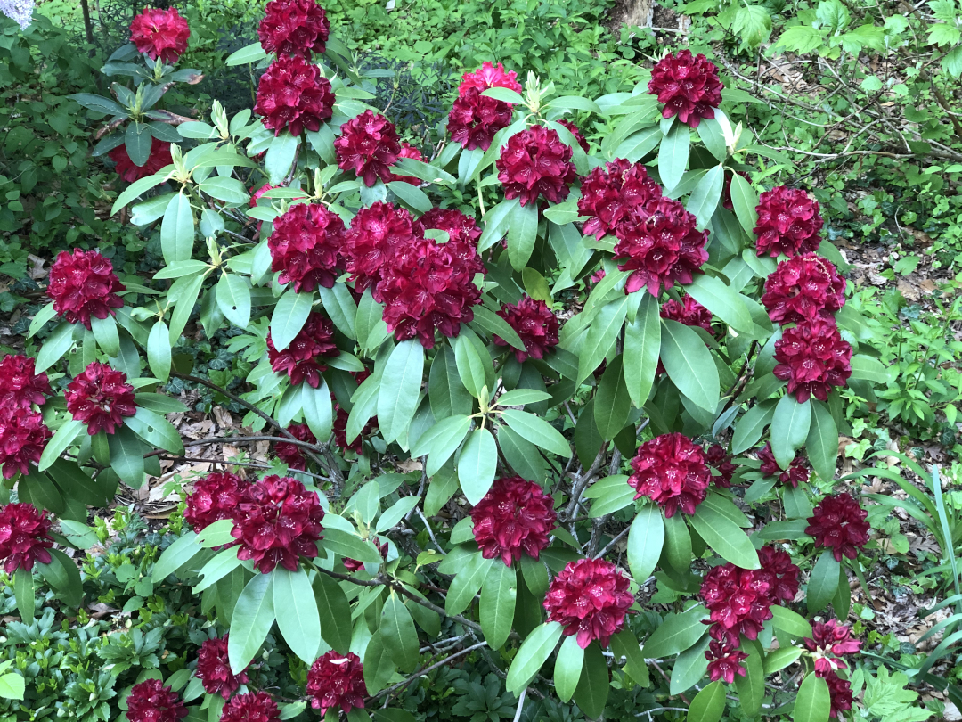 large rhododendron shrub with many dark red flowers