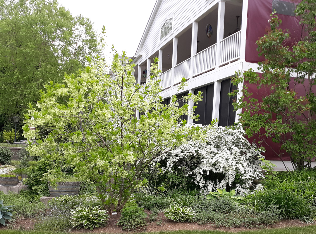 white-flowered shrubs in front of a brick house with large porches on the front