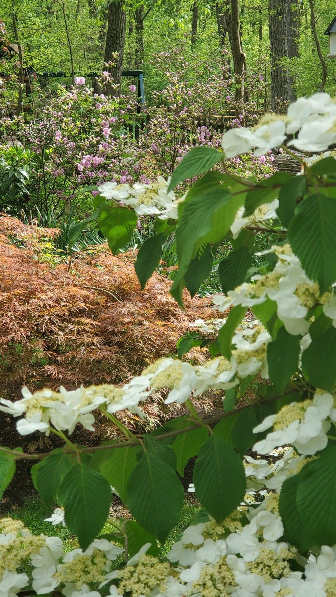 shrub with white flowers in the foreground with other shrubs behind