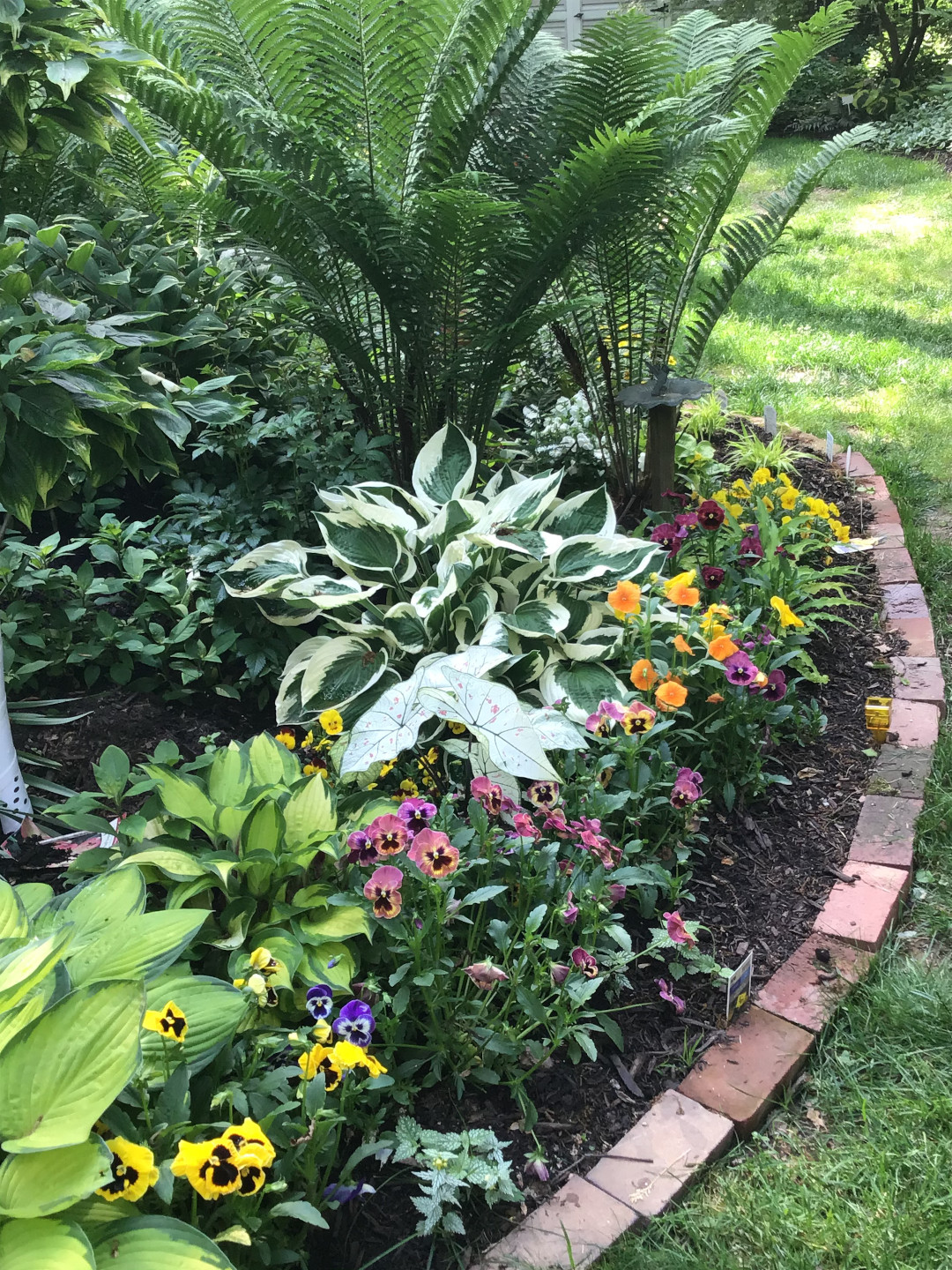 Pansies in a wide range of colors at the edge of a bed filled with hostas and ferns