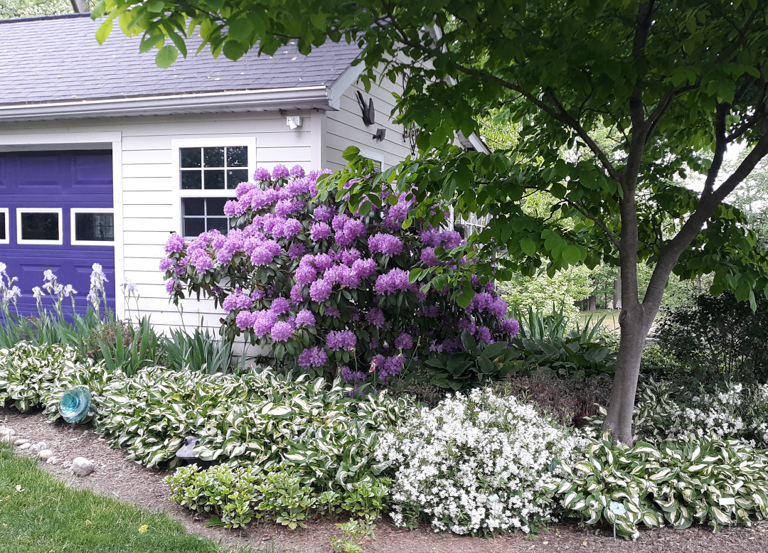 shrub with large purple flowers next to a garage