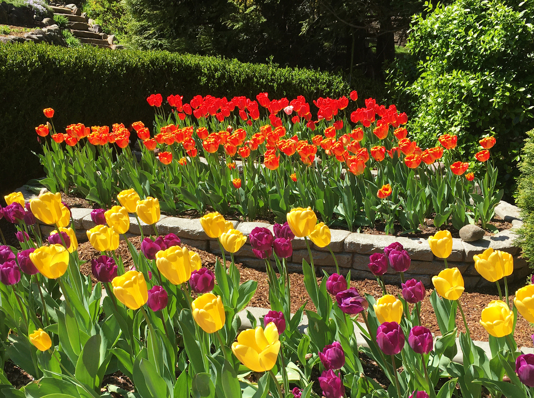 Brightly colored tulips