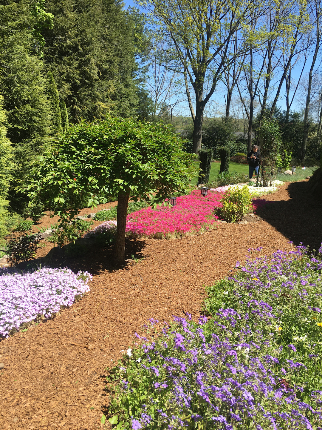 creeping phlox in mulched garden beds