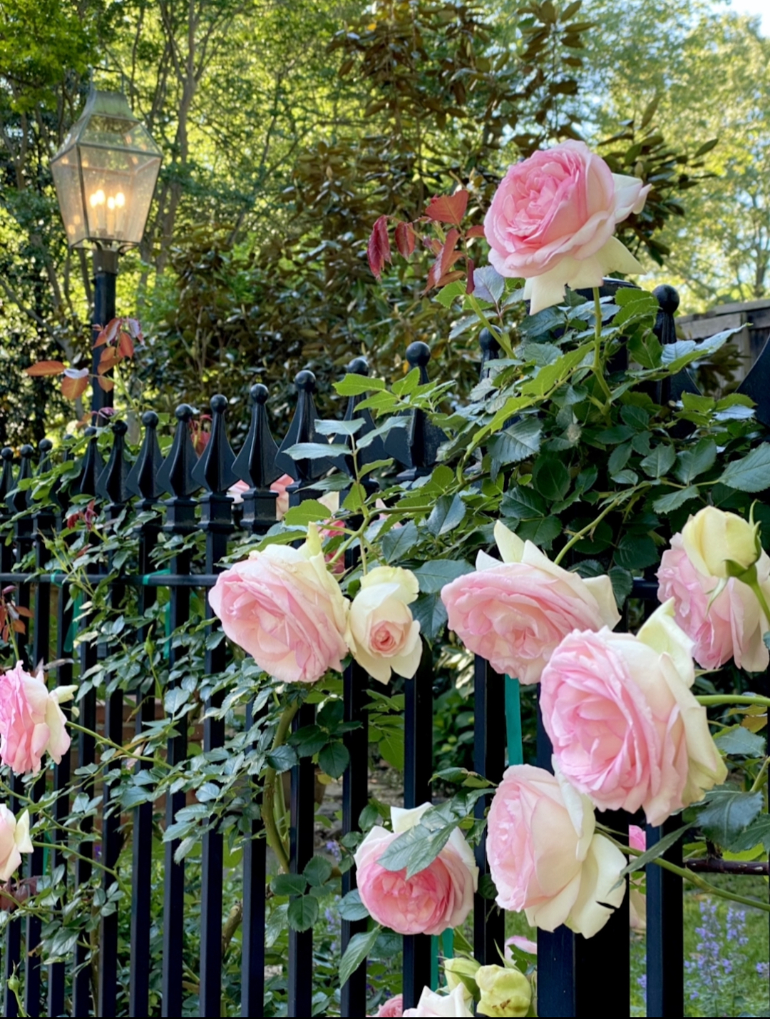 A black metal fence with roses growing along it