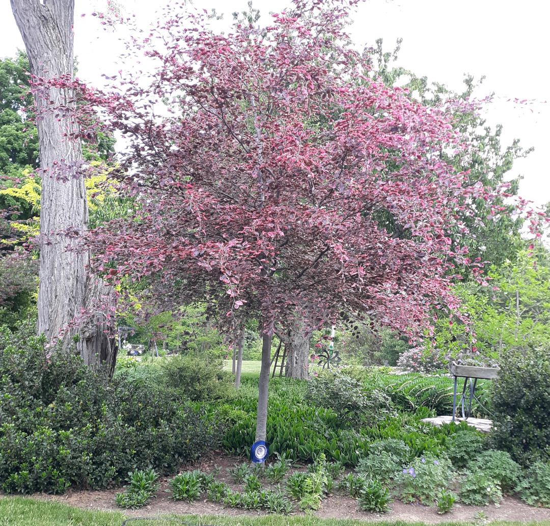 A tree with dark leaves edged in pink