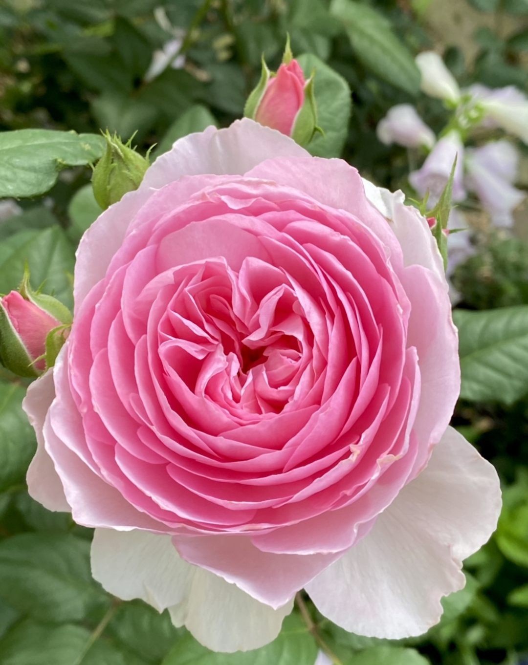 Close up of a pink rose with many petals