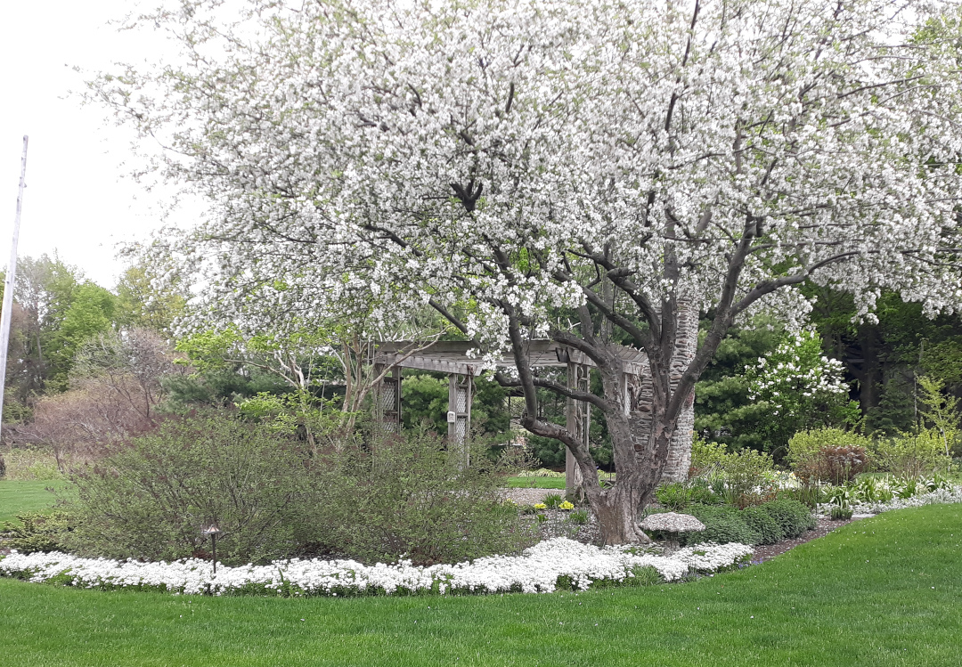 large tree with white flowers