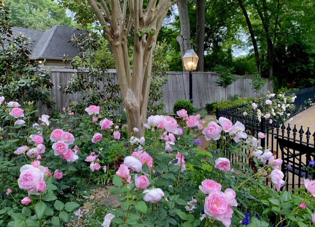 many rose bushes blooming in a garden