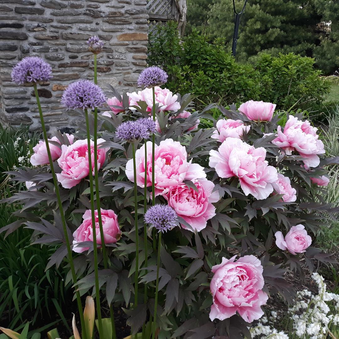 light pink peony with dark foliage