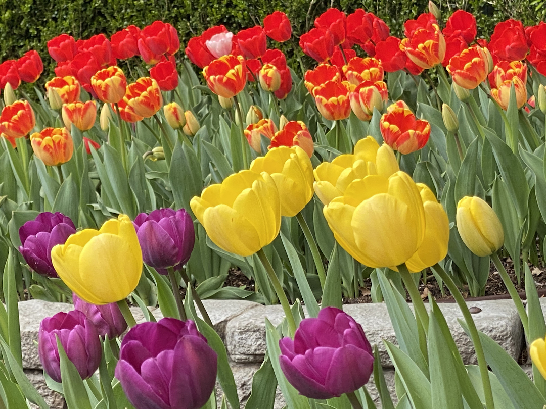 red yellow and purple tulips